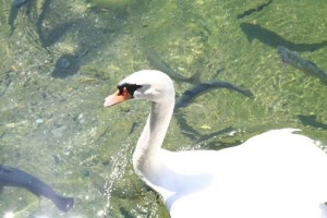Fun feeding the swans and fish at King's Homestead