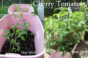Cherry Tomatoes May to June 2014