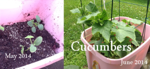 Cucumbers May to June 2014