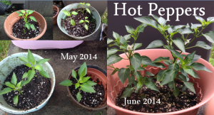 Hot Peppers May to June 2014
