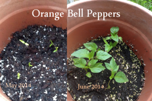 Orange Bell Peppers May to June 2014
