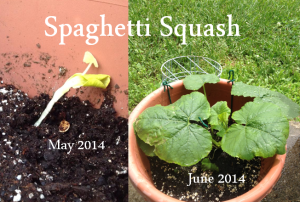 Spaghetti Squash May to June 2014