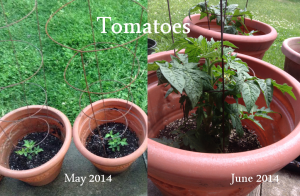 Tomatoes May to June 2014